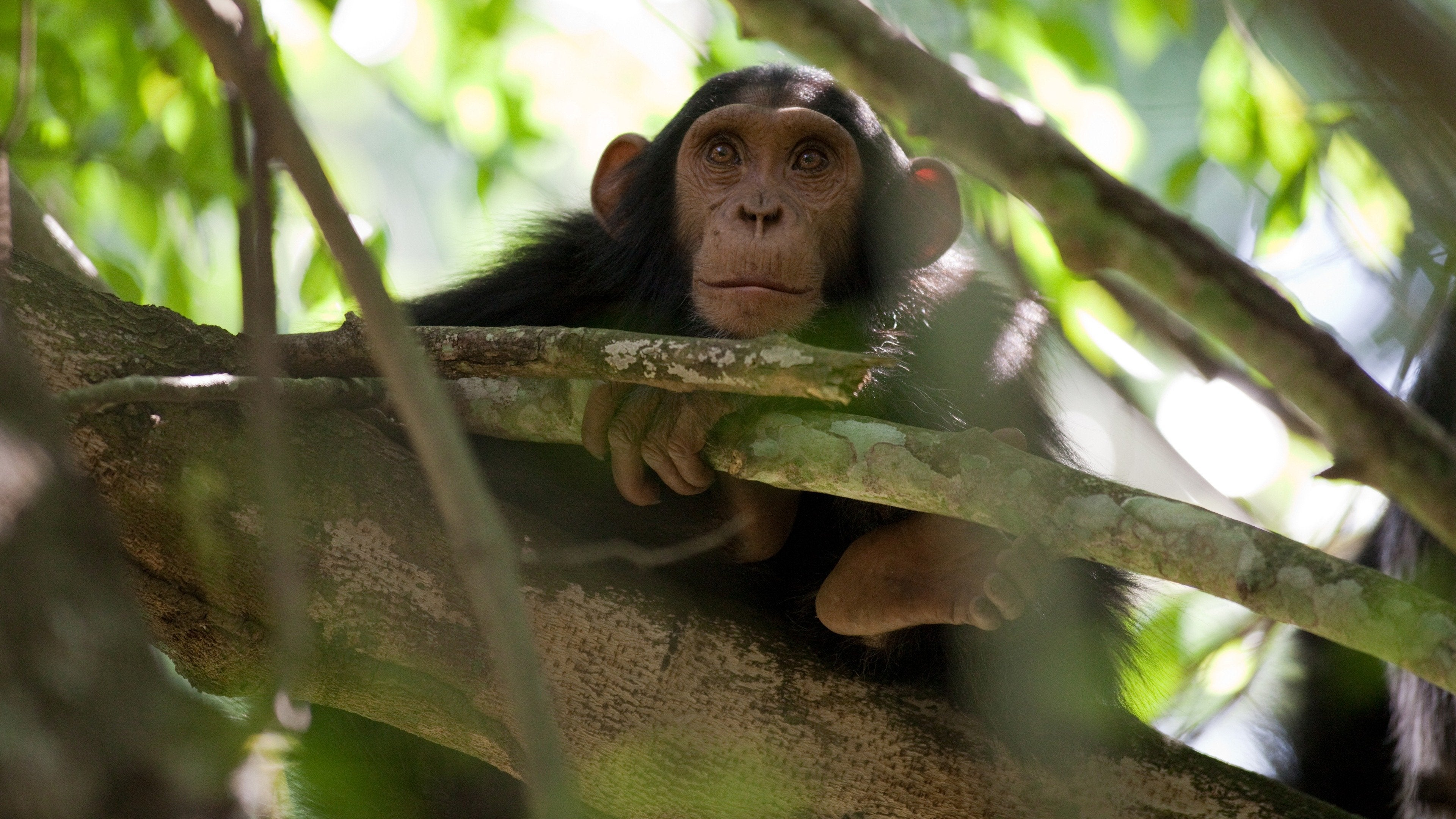 Chimps of the Lost Gorge