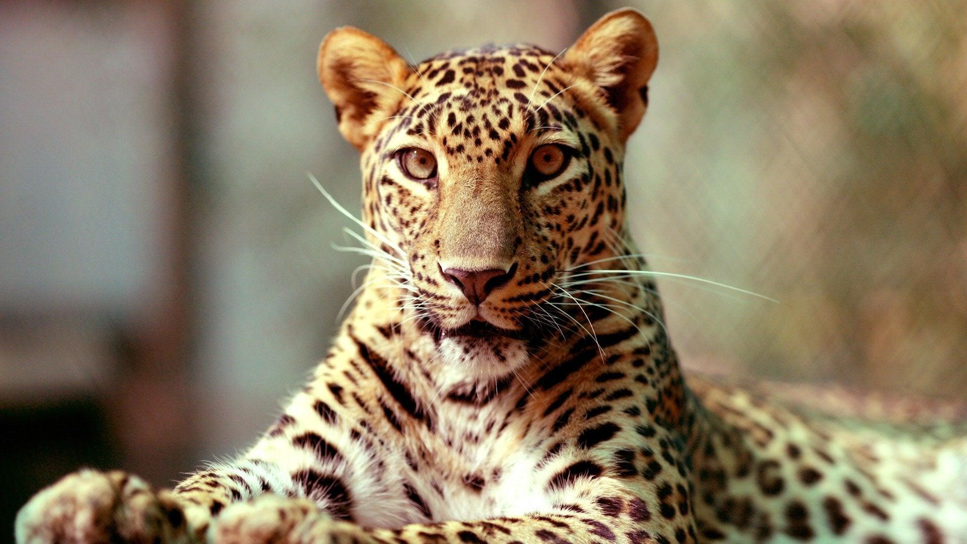 Natural World 13/14: The Leopard in My Backyard