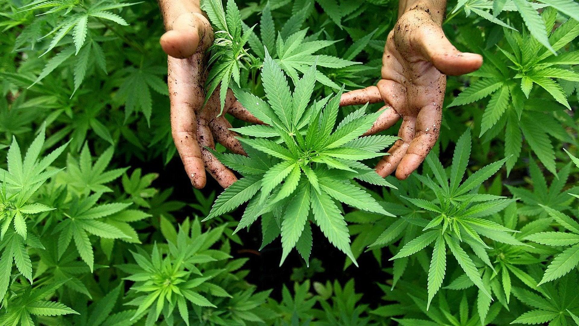 The Marijuana Revolution