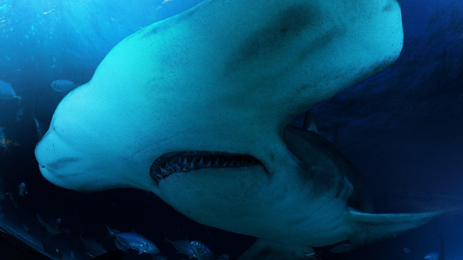 Great Hammerhead Invasion: Sharkopedia Edition