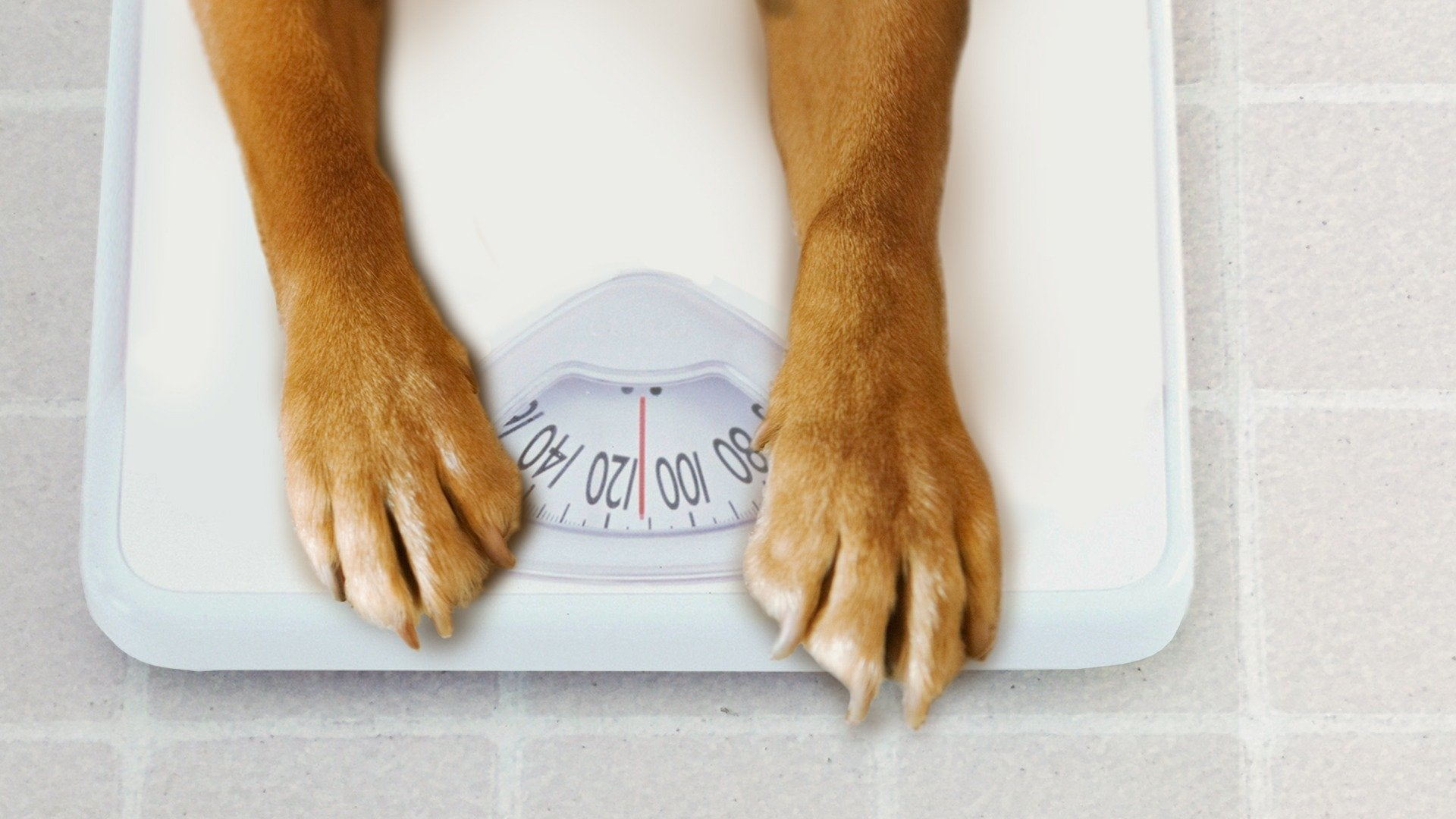 My Big Fat Pet Makeover: Fat to Fit