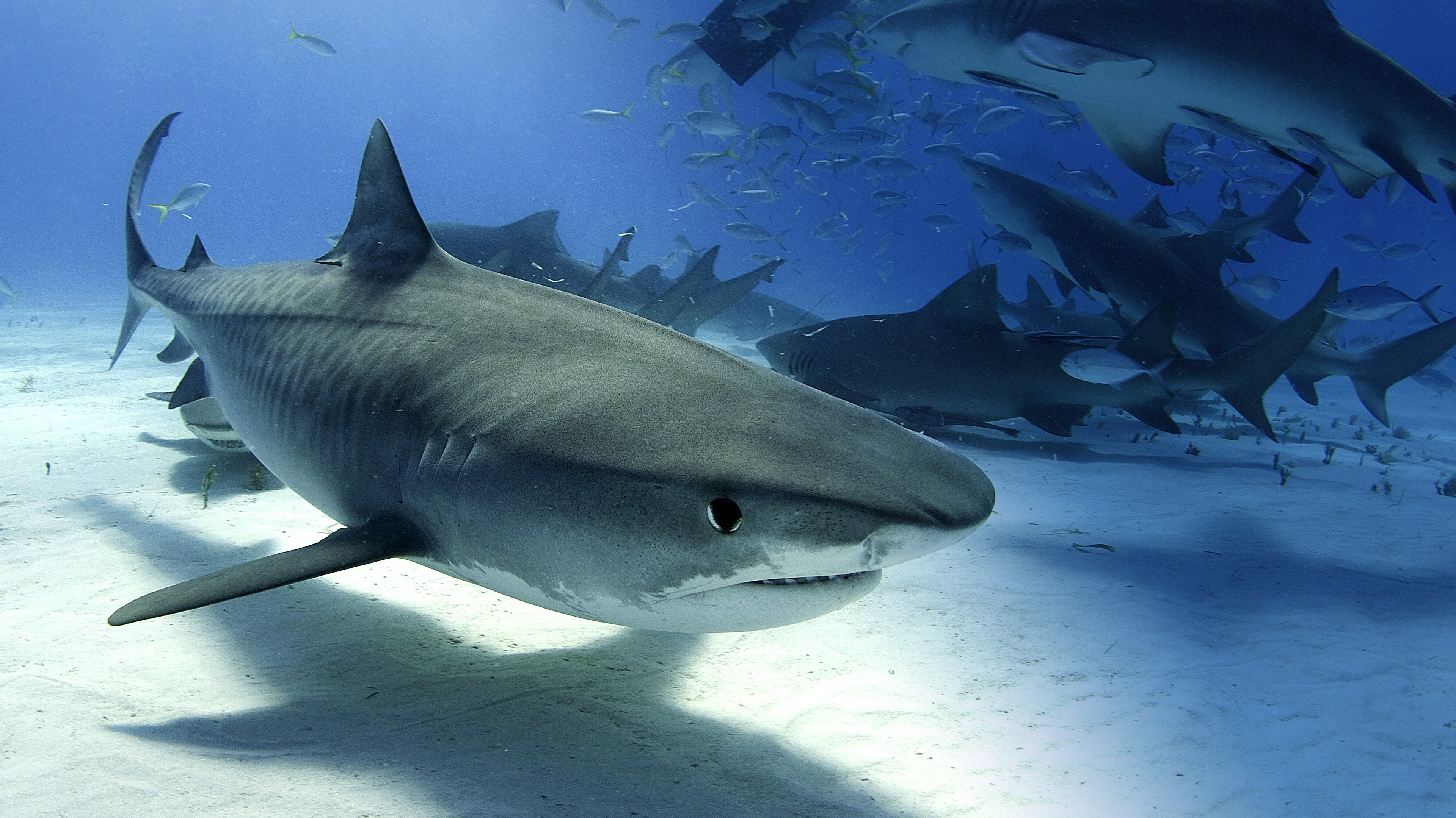Tiger Shark Invasion