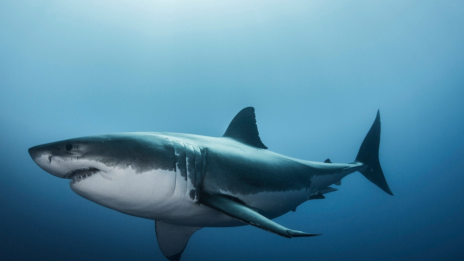 Great White Abyss: Sharkopedia Edition
