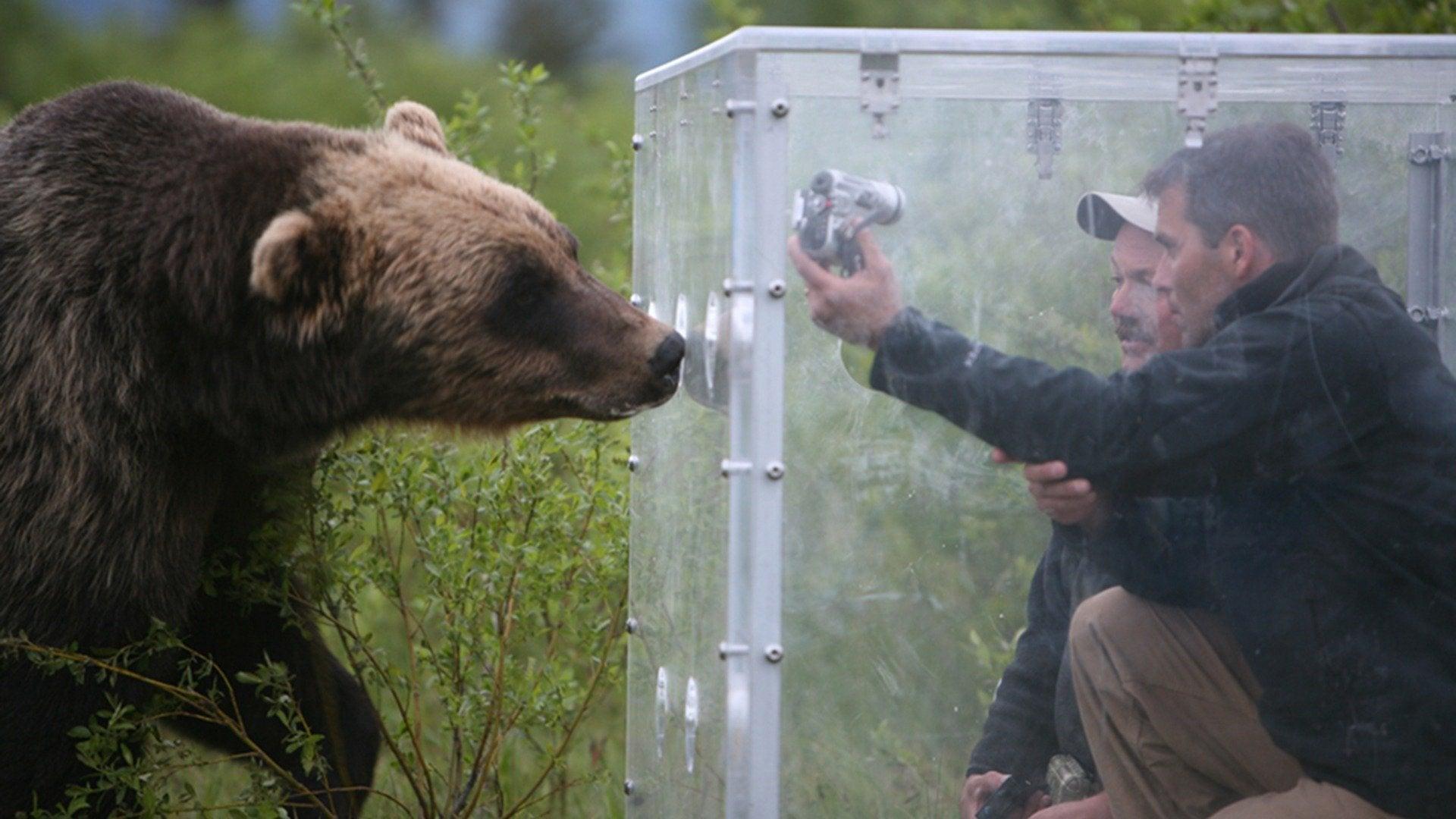 Bear Feeding Frenzy