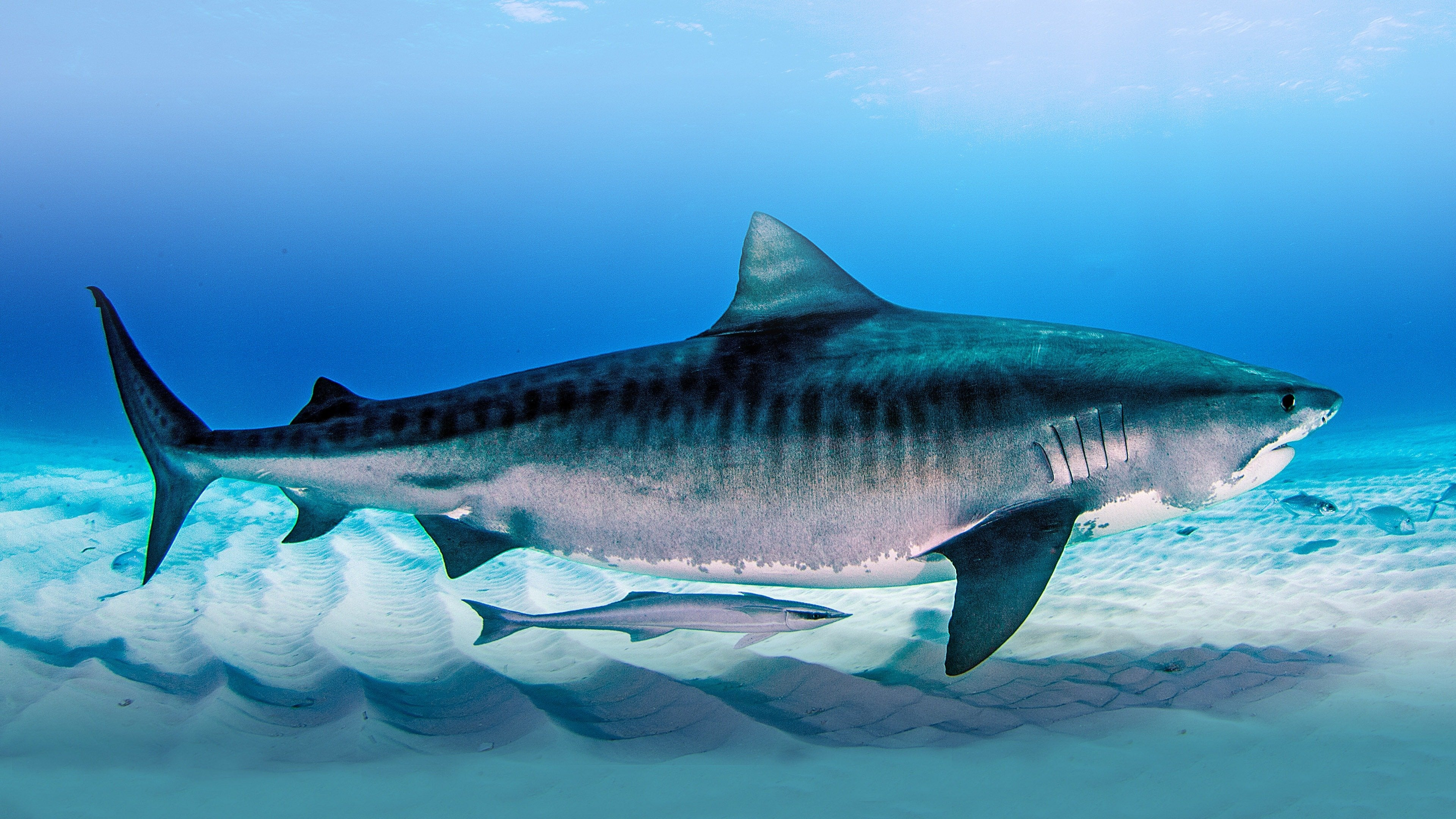 Deadly Stripes: Tiger Sharks